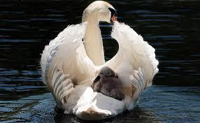 The Swans Are NotSilent
